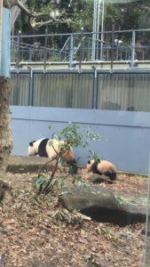 上野動物園のパンダシャンシャンとシンシン母娘